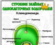 Строение зеленых одноклеточных водорослей