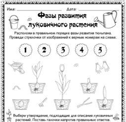 Фазы развития луковичного растения